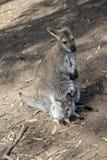 Czerwony necked wallaby z joey obraz stock