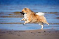 Czerwony niemiecki spitz psa bieg na plaży Zdjęcie Royalty Free