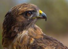 czerwony ogoniasta hawk zdjęcie royalty free