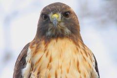czerwony ogoniasta hawk obrazy royalty free