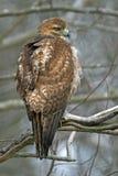 czerwony ogoniasta hawk Obraz Stock