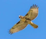 czerwony ogoniasta hawk Obrazy Stock