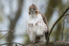 czerwony ogoniasta hawk Obraz Royalty Free