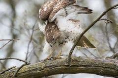czerwony ogoniasta hawk Fotografia Stock