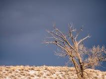 Czerwony Ogoniasty jastrząb na Jałowym drzewie w zimie Obrazy Royalty Free