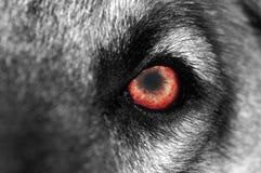 czerwony oko wilk Fotografia Royalty Free