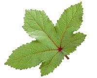 Czerwony okra ochro a esculentus liść Zdjęcie Stock