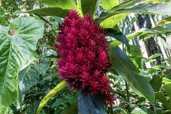 Czerwony okwitnięcie, alpini purpurata «tahitanki kopia «w Hawaje Zielony tropikalny las deszczowy w tle obraz stock