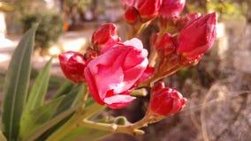 Czerwony oleander Fotografia Royalty Free