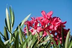Czerwony oleandrowy kwiat przeciw niebu Obrazy Stock