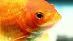 Czerwony Oranda Goldfish zdjęcie wideo