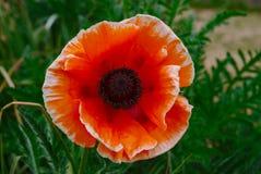Czerwony Orientalnego maczka kwiatu Papaver Orientalis zdjęcia stock