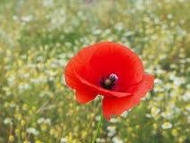 Czerwony osamotniony maczek na tle łąka pełno stokrotki w Polskiej wsi zdjęcie stock