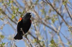 Czerwony oskrzydlony czarny ptasi śpiew. Fotografia Royalty Free