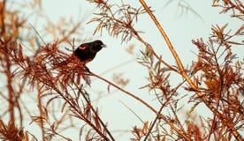 Czerwony oskrzydlony kosa Agelaius phoeniceus Obraz Stock