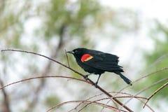 Czerwony oskrzydlony kosa Agelaius phoeniceus umieszcza na drzewie Obrazy Royalty Free