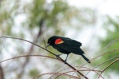 Czerwony oskrzydlony kosa Agelaius phoeniceus umieszcza na drzewie Fotografia Stock