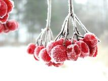 czerwony oszraniał jagodowa zdjęcia royalty free