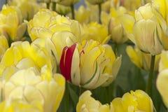 Czerwony płatek w łóżku żółci tulipany obrazy stock