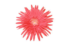 Czerwony płatka kwiat jest serrated spojrzenie kształtującym projekcyjnym odgórnym widokiem Zdjęcia Stock