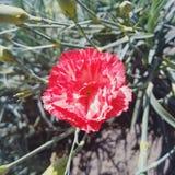 Czerwony płatka kwiat Obrazy Royalty Free