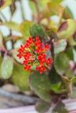 Czerwony Płomienny Katy, Kalanchoe blossfeldiana kwiat Obrazy Stock