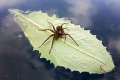 Czerwony pająk z wody kroplą na zielonym liściu przy jeziorem Obraz Stock