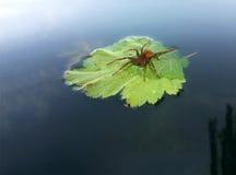 Czerwony pająk z wody kroplą na zielonym liściu przy jeziornymi podróżami Zdjęcie Stock
