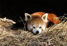 czerwony pandy zdjęcie stock