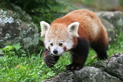 czerwony pandy Zdjęcie Royalty Free
