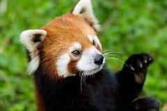 czerwony pandy fotografia stock