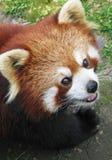czerwony pandy Obrazy Stock