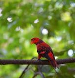 Czerwony papuzi ptak Zdjęcia Royalty Free