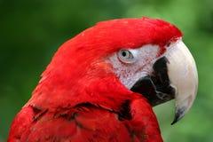 czerwony papuzia Obraz Stock
