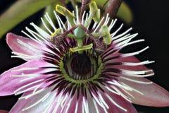 Czerwony passionflower Fotografia Stock