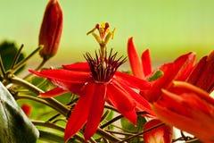 Czerwony Pasyjny kwiat Fotografia Royalty Free