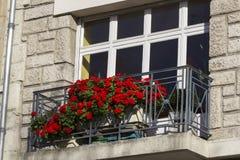 Czerwony pelargonium Fotografia Stock