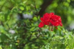 Czerwony pelargonium kwiat Zdjęcie Royalty Free