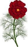 Czerwony peoni tenuifolia kwiat. Wektor Fotografia Stock