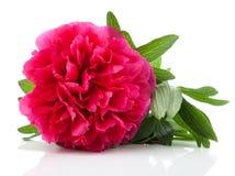 Czerwony peonia kwiat Fotografia Royalty Free