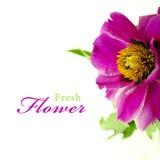 Czerwony peonia kwiat z zielonymi liśćmi Fotografia Royalty Free