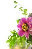 Czerwony peonia kwiat z zielonymi liśćmi Obraz Royalty Free