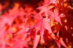Czerwony piękno Zdjęcia Royalty Free