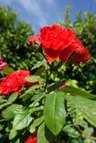 Czerwony piękno Fotografia Royalty Free