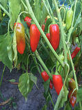 Czerwony pieprz dojrzewa w ogródzie w lecie Zdjęcie Stock