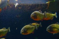 Czerwony Piranha originative od Ekwadorskiego tropikalnego lasu deszczowego w południowym America, przy akwarium Osaka Zdjęcia Royalty Free