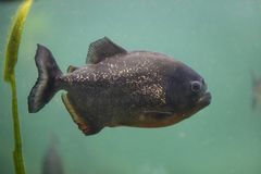 Czerwony piranha Pygocentrus nattereri zdjęcie stock