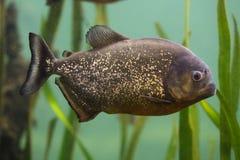 Czerwony piranha Pygocentrus nattereri zdjęcie royalty free