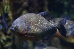 Czerwony piranha Pygocentrus nattereri fotografia stock