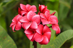 Czerwony plumeria kwiat Zdjęcia Stock